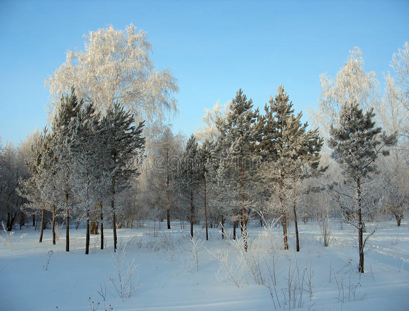 Winter forest. Frosty trees royalty free stock photography