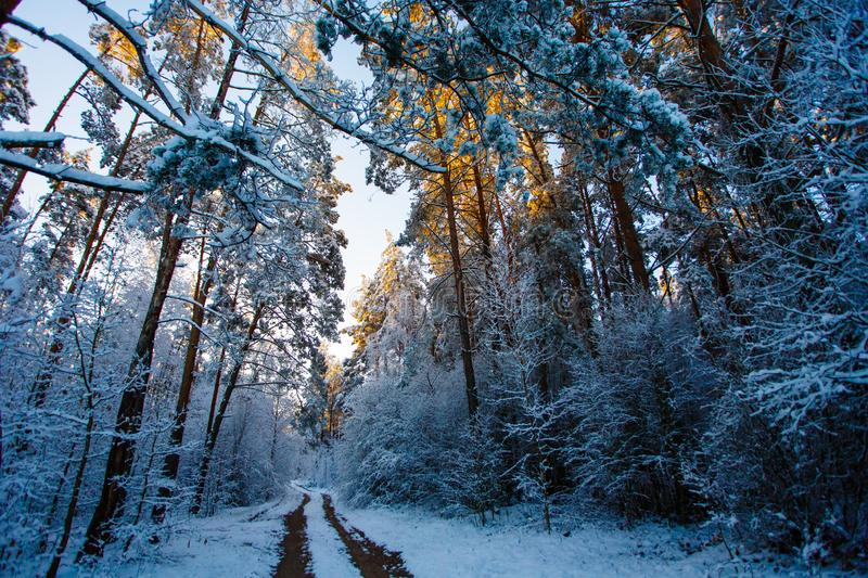 Winter forest. High conifers covered with snow. Tracks in woods stock image