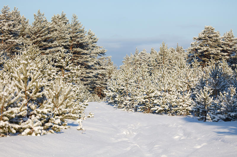 Download Winter forest landscape stock image. Image of path, green - 12394991