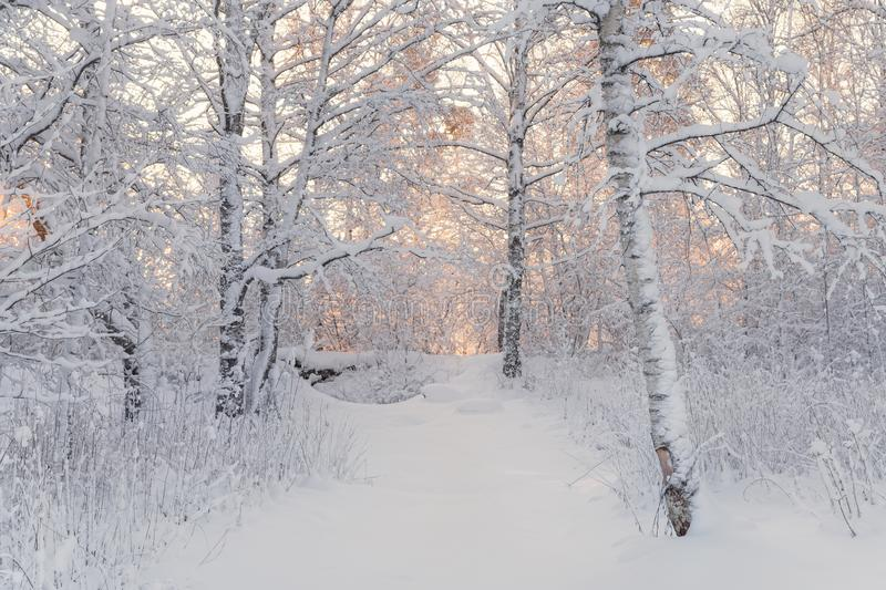 Winter Forest Landscape. Beautiful Winter Morning In A Snow-Covered Birch Forest. Snow Covered Trees In The Winter Forest. Real Ru royalty free stock image