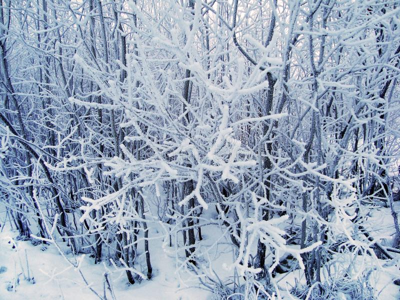 Beautiful snow-covered tree branches in cloudy frosty weather. stock image