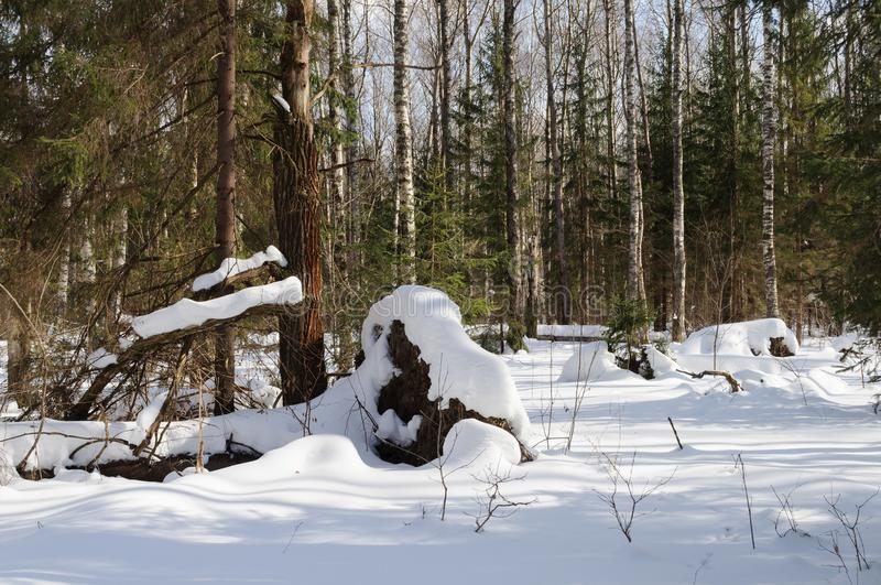 Winter forest landscape. With fallen tree. Firs and bare birches, sunny winter day. Vladimir region, Russia stock images