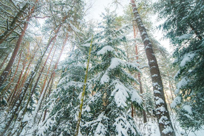 Winter forest landscape. Of fir and pine trees royalty free stock photography