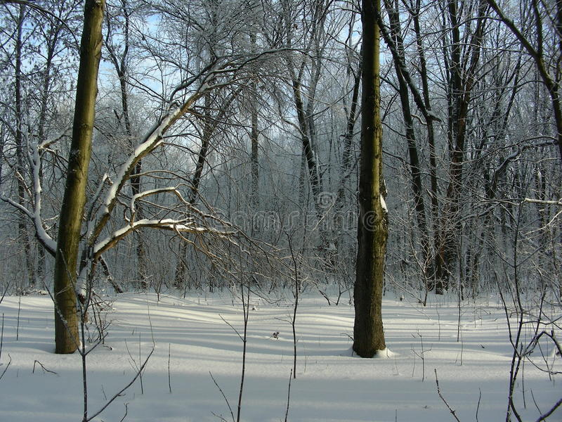 Winter forest landscape in the park, two trees stand side by side stock photo