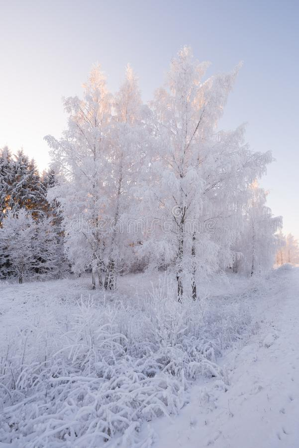 Winter Forest Landscape In Pink Tones, Vertical Orientation. Morning Winter Birch Forest.Beautiful Winter Birch Forest Covered Wit. H Hoarfrost. Sun, Snow royalty free stock photos