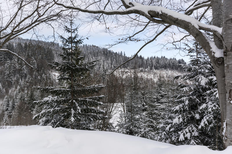 Winter forest. Winter landscape, Piricske, Miercurea Ciuc / Csikszereda, Harghita County, Romania stock photos
