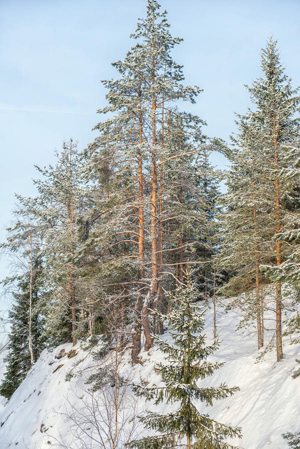 Winter forest landscape with snow in cold weather Karelia stock photo