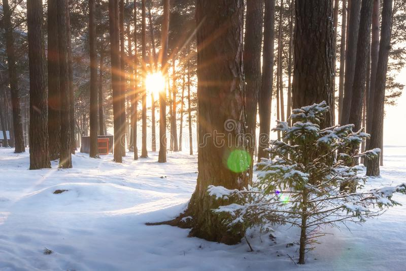Winter forest landscape. Snowy winter scene of trees in woodland at sunrise. Bright sun rays shine through tree. Christmas in frosty park stock photography