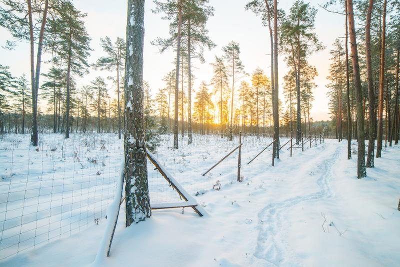 Winter forest landscape. At sunrise royalty free stock image