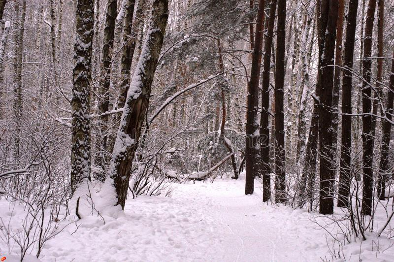 Winter forest with large snow drifts stock photo
