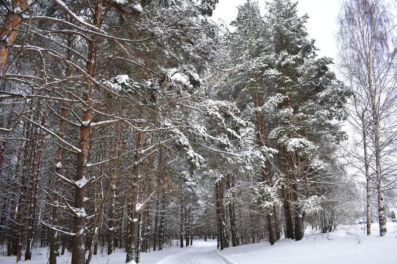 Winter forest is like a fairy tale stock image