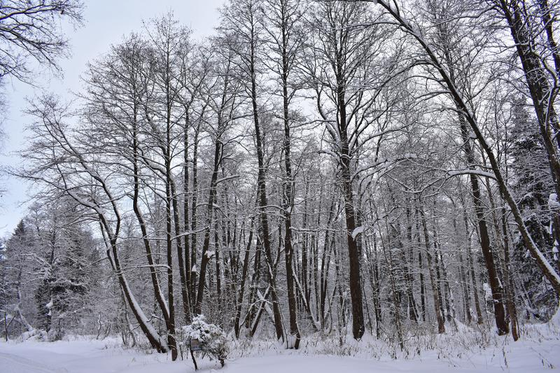 Winter forest is like a huge Palace, where winter lives, harsh trees, like guards, stand still. Dressed in ice armor, which they created frost. Everything is royalty free stock photography