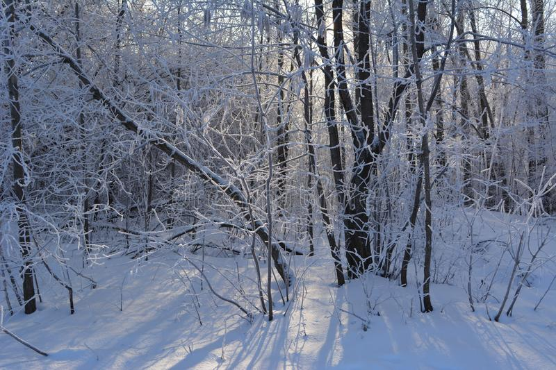 Winter day in forest. Trees covered with hoarfrost in january. royalty free stock photos