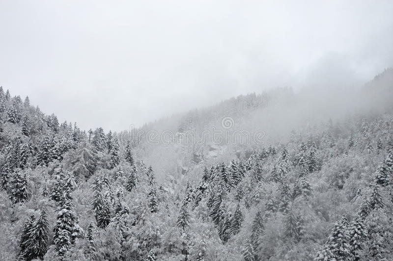Winter forest in mist stock image