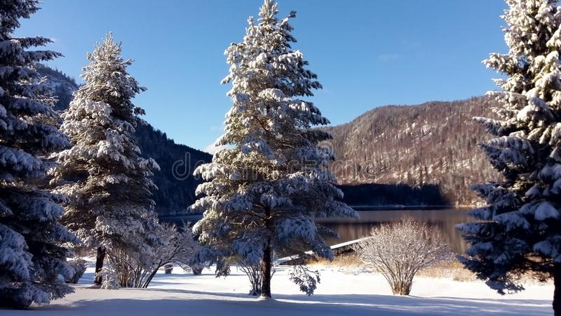 Winter forest on mountain lake shore. Huge spruce trees covered with snow royalty free stock photo