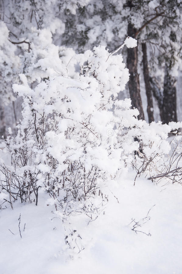 Winter forest nature snowy landscape outdoor background. Landscape snow trees dense forest in winter royalty free stock photography