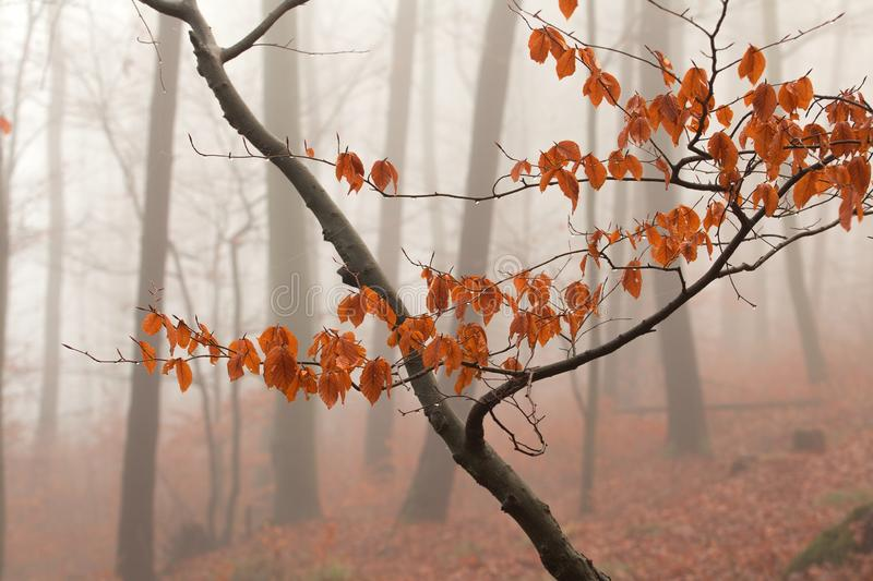 Winter forest, no snow, foggy background, leftover leaves on branches and ground, orange and yellow tint. Winter forest, no snow, foggy background, leftover stock image