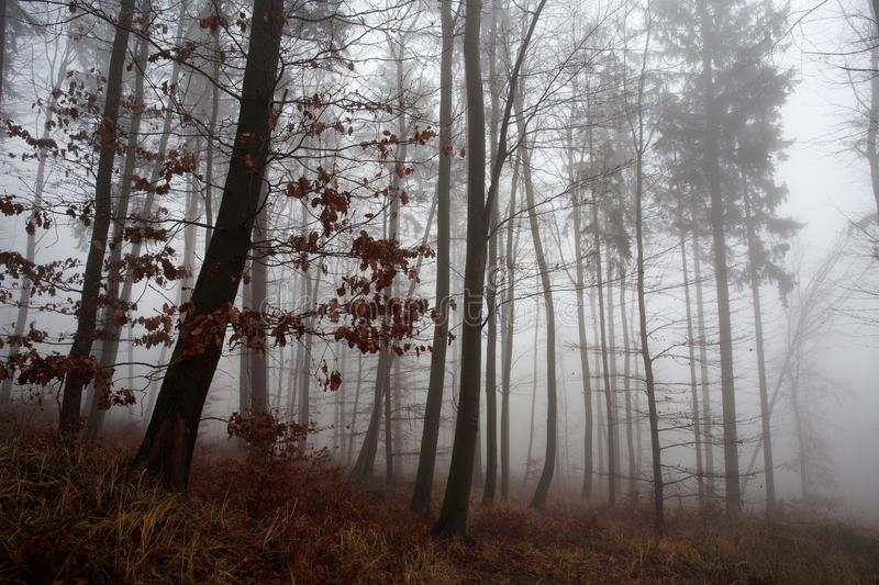 Winter forest, no snow, foggy background, leftover leaves on branches and ground. Orange tint stock image