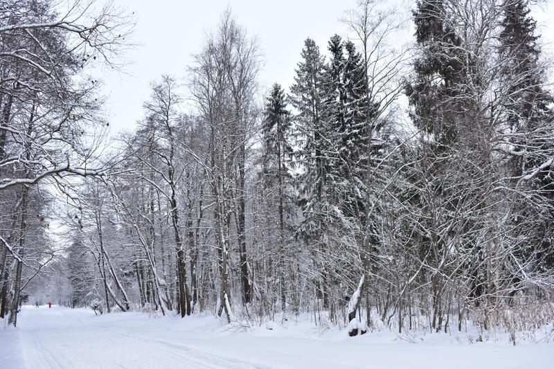Winter in the forest is a particularly beautiful phenomenon. A huge amount of snow, which is covered with everything around stock photo