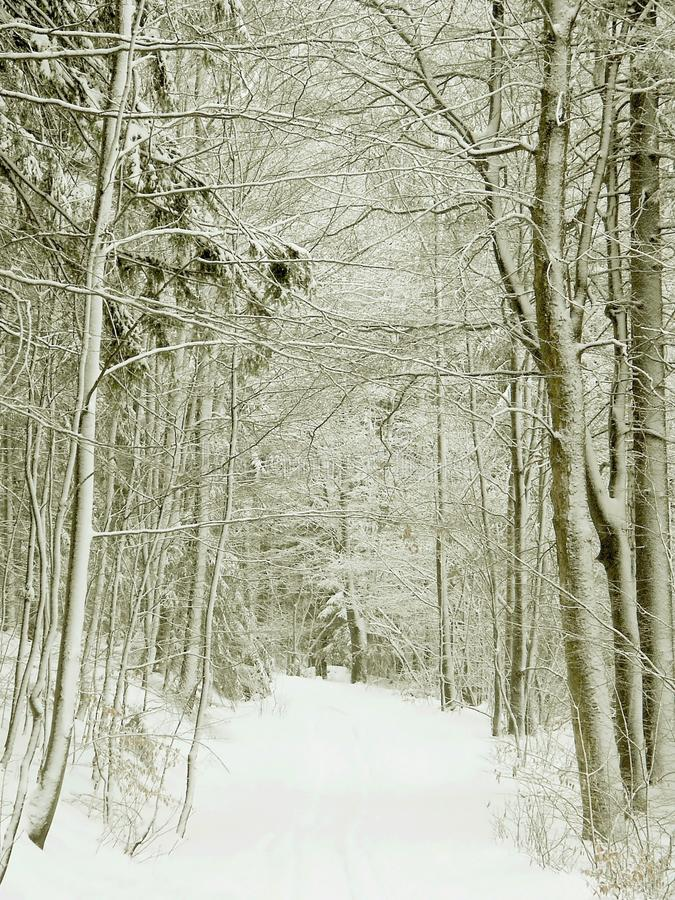 Download Winter Forest Path, Snow Covered Trees Stock Photo - Image: 10318182
