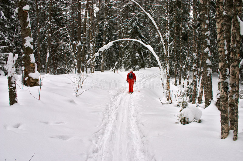 Winter forest. Red skier stock photos