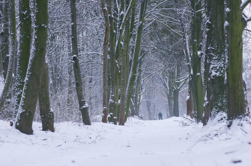 Winter forest road covered with snow between trees with man silhouette on the end. Wroclaw, Poland. Winter forest road covered with snow between trees with man stock photography