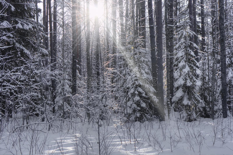 Winter forest, Russia royalty free stock images