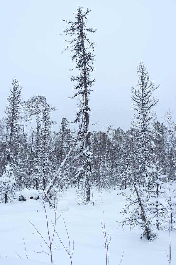 Winter forest in the Russian taiga forest stock photo