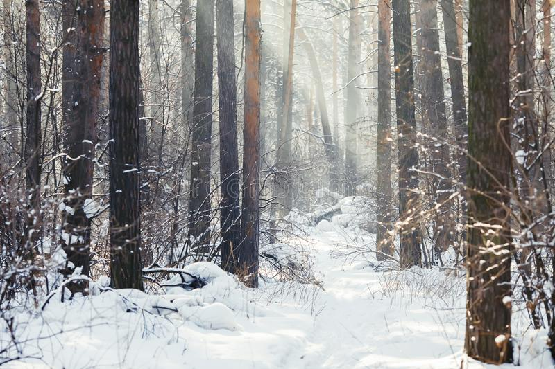 Winter forest scene. Frosty landscape, snowy trees royalty free stock photo