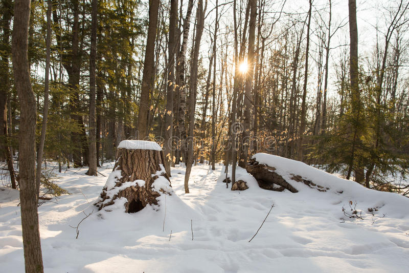Winter Forest Scene with Stump and Sun Flare. Snow covered forest scene with selective focus on the stump in the foreground. Sunlight coming through the trees royalty free stock images