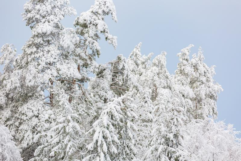 Winter forest with snow covered branches. Beautiful snowy winter stock photos