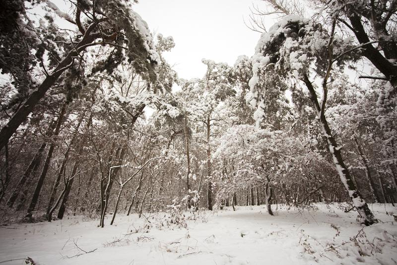 winter forest snow-covered rowan tree with red fruits berries stands on the edge of the forest stock image