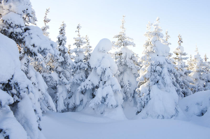 Winter forest. Snow covered spruces. Snow covered spruces. Winter forest. Ural landscape stock photography