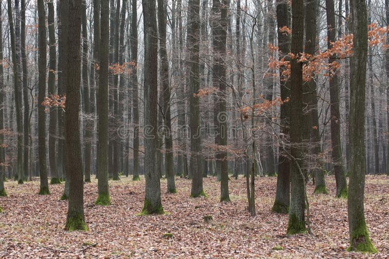 Winter forest without snow, full of leaves on the ground and bare trees royalty free stock photography