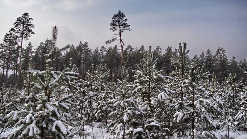 Winter fores and snow landscape stock image
