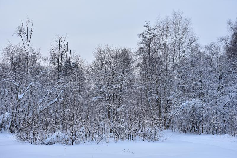 Winter in the forest is something special. This time of year the forest is resting royalty free stock image
