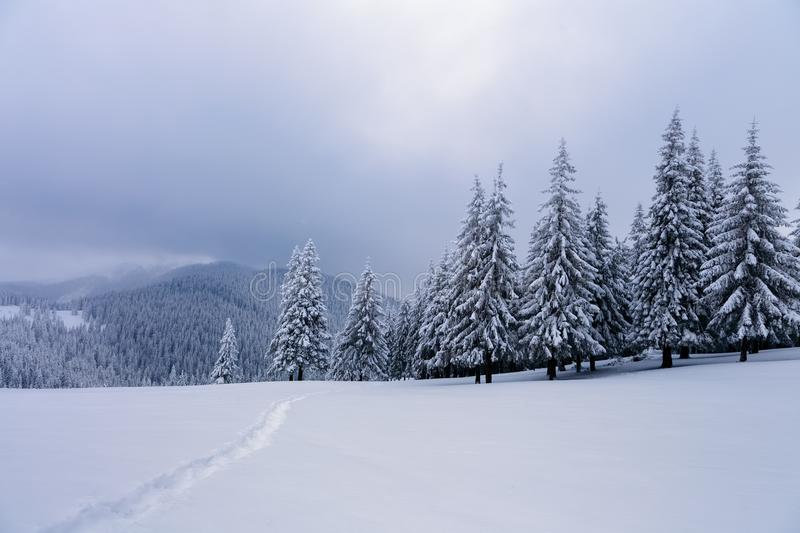 Winter forest of spruce trees poured with snow that like fur shelters the mountain hills covered with snow. Winter forest of spruce trees poured with snow that royalty free stock photos