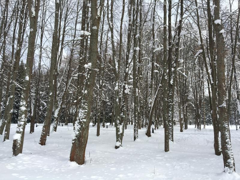 Winter forest in St Petersburg stock photo