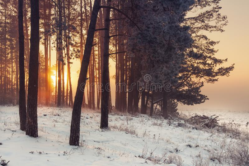 Winter forest at sunrise. Winter frosty nature landscape in warm sunlight. Christmas time. stock photos