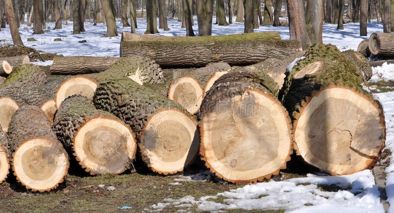 The logs of cut trees lie. In the winter forest there are logs of cut trees royalty free stock photography