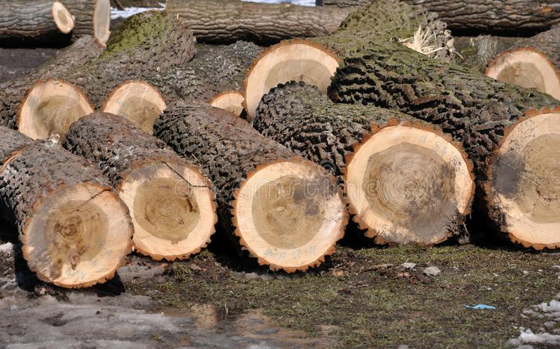 The logs of cut trees lie. In the winter forest there are logs of cut trees royalty free stock image