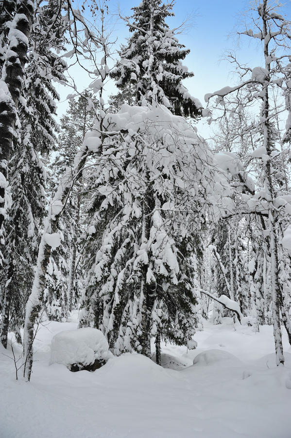 Download Winter forest tree stock photo. Image of scene, hoar - 37599080