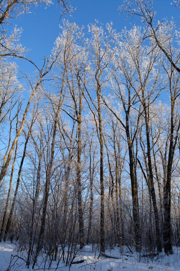 Winter forest. Trees covered by hoarfrost on the background of blue sky stock images