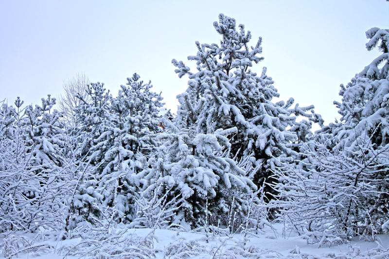 Winter forest with trees covered snow royalty free stock image