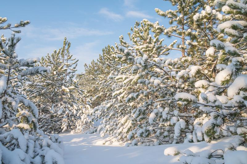 Winter forest with trees covered snow at sunny day. Winter landscape. Christmas fairytale.  royalty free stock photography