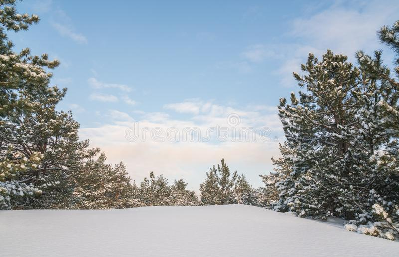 Winter forest with trees covered snow at sunny day. Winter landscape. Christmas fairytale.  stock photography