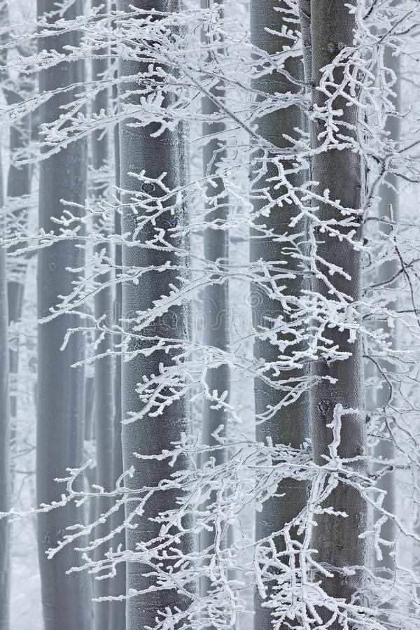Winter in forest, trees with rime. Cold winter with ice on tree blanch in Europe, Germany. Winter wood, white forest landscape. royalty free stock photo
