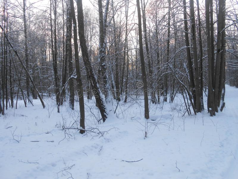 Winter forest in the twilight. royalty free stock photos