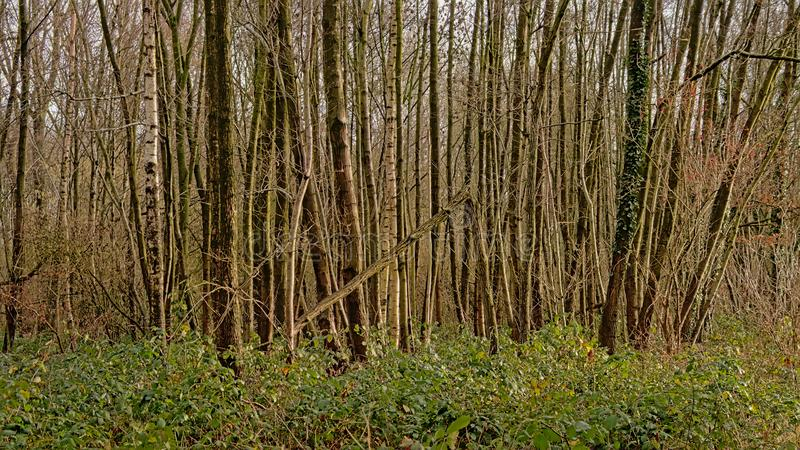 Winter forest wilderness in the Flemish countryside. Many bare young tree trunks and evergreen shrubs in forest in Het Leen nature reserve, Eeklo, Belgium stock images