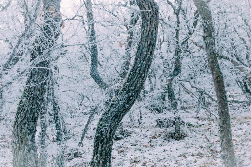 Winter forest. In the snow, background, christmas, tree, landscape, nature, pine, scene, cold, white, blue, frost, snowy, beauty, season, january, year, sky royalty free stock photography